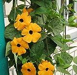 花の種子イエロークライミングブラック・アイド・スーザン・ヴァイン(ヤハズカズラ)年次