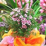 ギョリュウバイ 鉢植え ピンク 可愛い花付きスタンド仕立て 花 ギフト 誕生日プレゼント