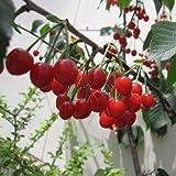 サクランボ:だんちおうとう(暖地桜桃)5号鉢植え[支那実桜(シナミザクラ)][結実予定株]