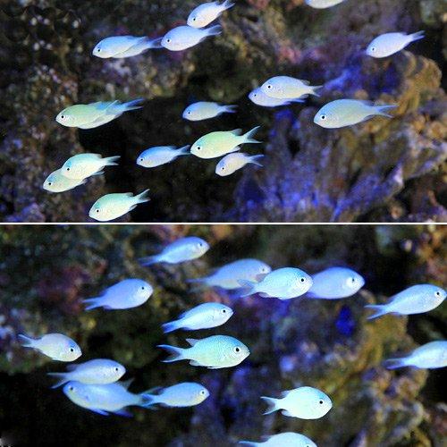 (海水魚)デバスズメダイ Sサイズ(2匹) 本州・四国限定[生体]