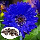 種子パッケージ:ブルーガーベラデイジー種子ホームガーデンハーブ盆栽種子種子Kecp