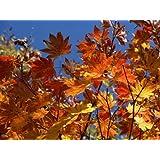 【6か月枯れ保証】【紅葉が美しい木】コハウチワカエデ 0.7m