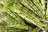 ハイドロカルチャー苗 【ミリオンバンブー5本セット】 新鮮な苗を農家直送でお届けします。