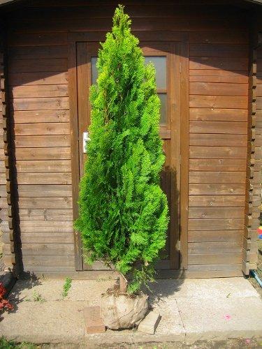 エレガンテシマ 樹高1.5m前後 育てやすい人気のコニファー♪