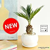LAND PLANTS ソテツ 白色丸型陶器鉢 卓上サイズ