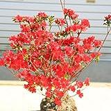 庭木・植木:本霧島ツツジ(ほんきりしまつつじ)鉢植え、庭植えにもちょうど良いサイズ!