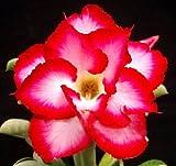 40 Fresh seedsアデニウム アラビカム オベスム 砂漠のバラ種子(40粒)塊根植物種子Adenium obesum Desert Roses seeds no116-Double-red-diamond