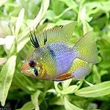 (熱帯魚)バルーン・ラミレジィ Lサイズ(3匹) 本州・四国限定[生体]
