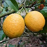 無農薬 レモン 2kg ノーワックス 防腐剤不使用 愛媛 中島産 訳あり 国産