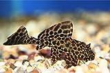 (熱帯魚・プレコ)セルフィンプレコ SMサイズ 5匹