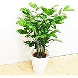 コウセイチャメドレア 観葉植物 スタイリッシュな白色鉢カバー付 ヤシの木 日陰や寒さに強い やしの木 インテリア 高性チャメドレア