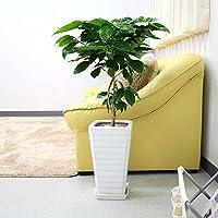 コーヒーの木 7号+スクエアホワイトロング陶器鉢 Gタイプ