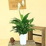 観葉植物:スパティフィラム ホワイト 緑葉