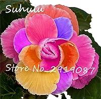 ホット販売20ピースローズリーガーベゴニア花理想的な鉢植え花植物の種、多年生花用ホームガーデン装飾