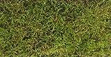 【シノブゴケ (350×500)】常緑性の天然の苔