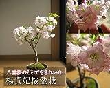 八重桜盆栽  楊貴妃桜   とても 美しい 八重咲きの サクラが 自宅で 手頃に楽しめちゃいます