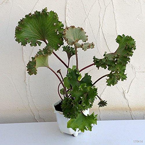 ツワブキ:大獅子5号鉢植え[獅子葉芸の石蕗] ノーブランド品