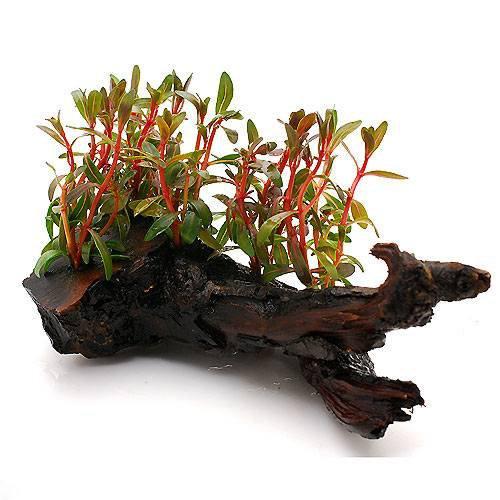 (水草) アラグアイア レッドロタラ(水上葉) 流木付 Sサイズ(無農薬)(1個) 本州・四国限定[生体]
