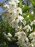 エゴノキ 株立ち (白花) 根巻き苗 庭木 落葉樹 シンボルツリー