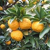 ユズ:多田錦(タダニシキ)4.5号ポット[種無しで搾りやすい柚子 柑橘・かんきつ類苗木]