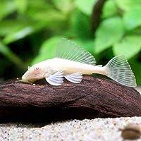 (熱帯魚)アルビノセルフィン・プレコ(1匹) 本州・四国限定[生体]