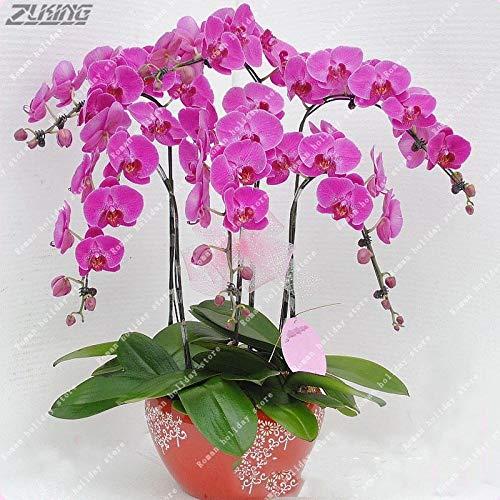 A071:Hの英語デイジーの種ヒナギクレア盆栽菊の花の種