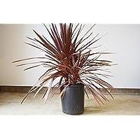 赤ドラセナ コルジリネ レッドスター 双幹 約70cm お好きな鉢植えで ガーデニング インテリア