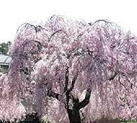 :10本のしだれ桜挿し木!あなた自身を成長させ を保存