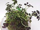 四葉のクローバーの苔玉