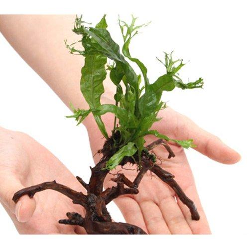 (水草)ミクロソリウム ウェンディロフ ブランチアーチ流木付(約15cm~)(1本)