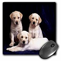 3drose LLC 8x 8x 0.25インチマウスパッド、3イエローLabs Portrait (MP 61885_ 1)