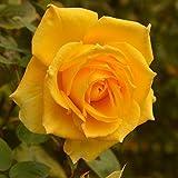 バラ苗 インカ 国産新苗4号ポリ鉢 ハイブリッドティー(HT) 四季咲き大輪 黄色系
