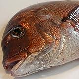 瀬戸内海産 レモン鯛 1.5kg
