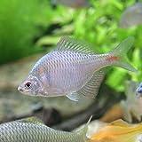 (淡水魚)タイリクバラタナゴ(1ペア) 本州・四国限定[生体]