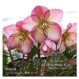高級品種・冬咲きクリスマスローズ Ice N'roses 氷の薔薇 ローズ 15cmポット1苗(2年生苗)