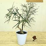 観葉植物・希少:ブラキキトン ルペストリス(ボトルツリー)*2本寄せ【陶器鉢】double 現品選べます。 (ホワイト)