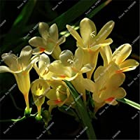 120 Freesias Seeds、ゴージャスなDiyガーデンカラフル&アンプ;香りのよい花植物の切り花、家、庭、バルコニーの装飾2017新しい