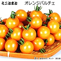 実生 ミニトマト 苗 オレンジパルチェ 9cmポット苗