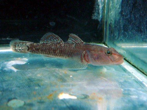 日淡 カワヨシノボリ(川よしのぼり) 淡水魚