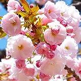 桜 苗木 一葉 12cmポット苗 いちよう さくら 苗 サクラ
