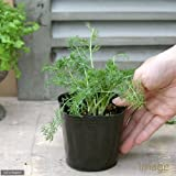 (観葉植物)ハーブ苗 カモミール ジャーマンカモミール 3号(1ポット) 家庭菜園