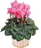 シクラメン5号鉢 ピンク系 鉢植 フラワーギフト 花 冬ギフト 歳暮
