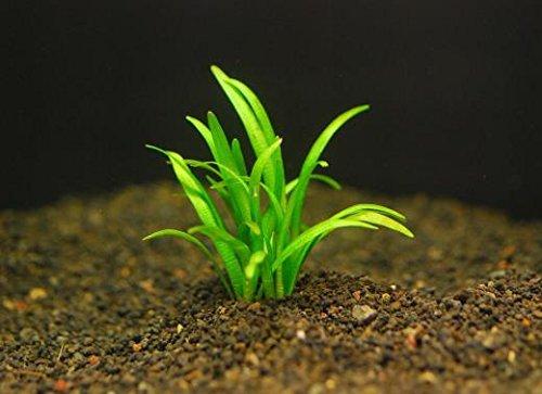 ピグミーチェーン サジダリア(5本) ◆丈夫な前景草◆ 無農薬