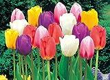 短期間で咲かせるチューリップ 5色各20球パックが5袋で100球 色別にパックしてお届けします!* 関東甲信越地域以外は出荷地からの関係で別途送料が発生します
