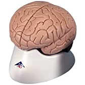 脳,4分解モデル,標準型