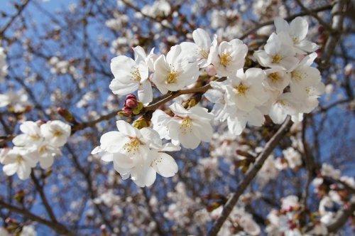 桜 苗木 染井吉野(ソメイヨシノ)1年生 接ぎ木 苗。 庭木