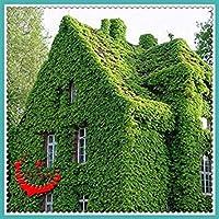 あなたの家興味深いF008 Decro美しい40クリーパーシードParthenocissus Tricuspidata草の種
