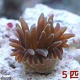 (海水魚 無脊椎)サンゴイソギンチャク SS-Sサイズ(5匹) 本州・四国限定[生体]
