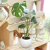 観葉植物(生花) モンステラ 陶器鉢(鉢皿付) 高さ40cm~50cm