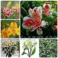 レアペルーのユリアルストロメリアLigtuバルク花の種 - ARCIS新